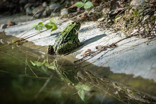 Edible frog / Teichfrosch [Pelophylax esculentus]