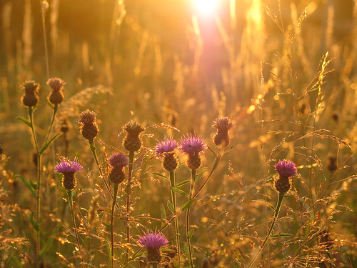 Knapweed at sunset at Muston Meadows