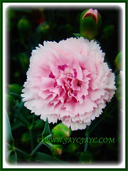 Dianthus caryophyllus (Carnation, Border Carnation, Clove Pink) with lovely pink flower and numerous promising buds, 18 July 2017