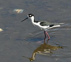 Black-necked Stilt (Himantopus mexicanus)_DSC0450-PSE
