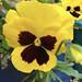 pansy flower por ikarusmedia
