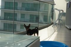 A Mexican Chihuahua
