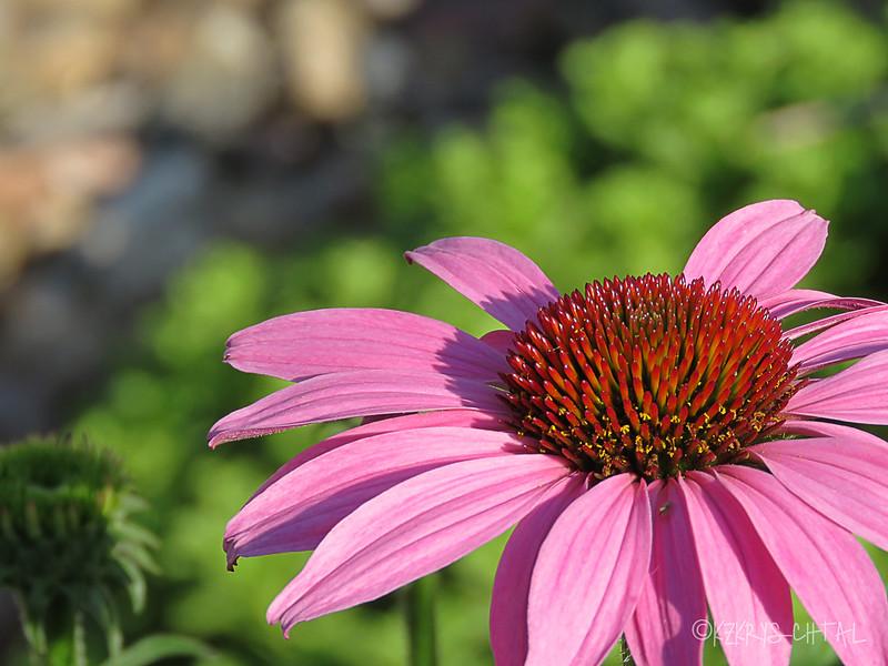 IMG_4335Coneflower