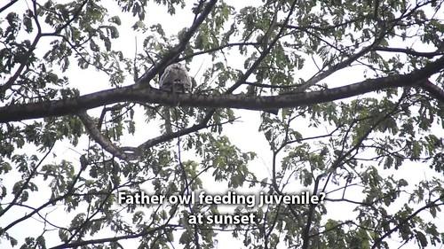 Spotted Wood Owl (Strix seloputo)