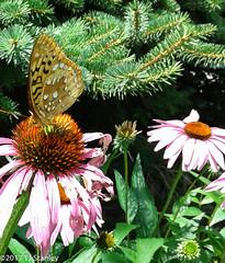 Great Spangled Fritillary Butterfly 20170702_140107-19.jpg