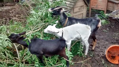 goats eating ash July 17 2