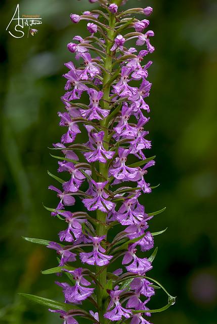 small purple fringed, platanthera psycodes