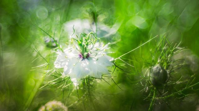 Wild flower - Trioplan Bokeh 2