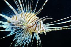 Pterois Lionfish