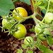 Small photo of Some Gifted Red Heart Tomatoes On The Allotment