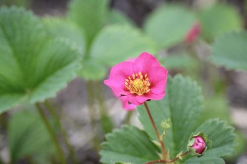 Fraisier à fleurs rose
