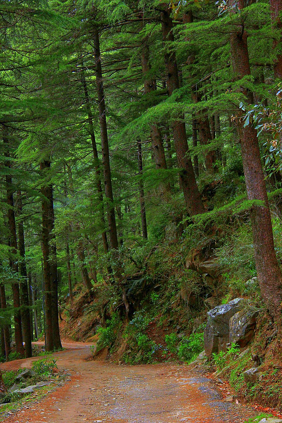 The pine forests around Dharamkot