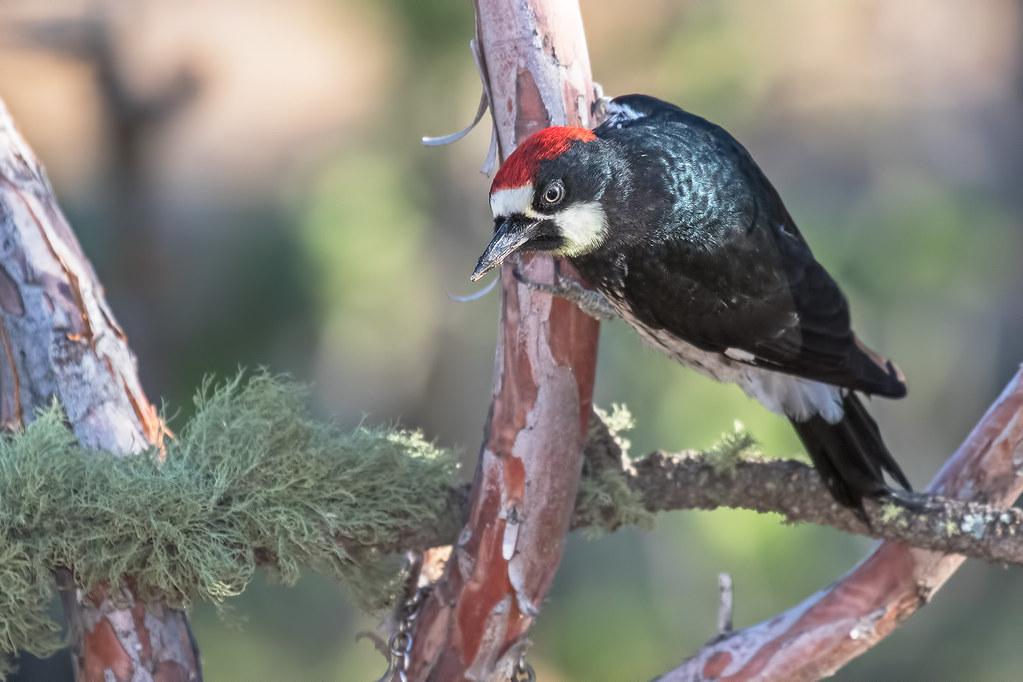 Acorn-Woodpecker-105-7D2-070717