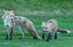 IMGL7119 Red Fox Kit and Mom (Foxy)