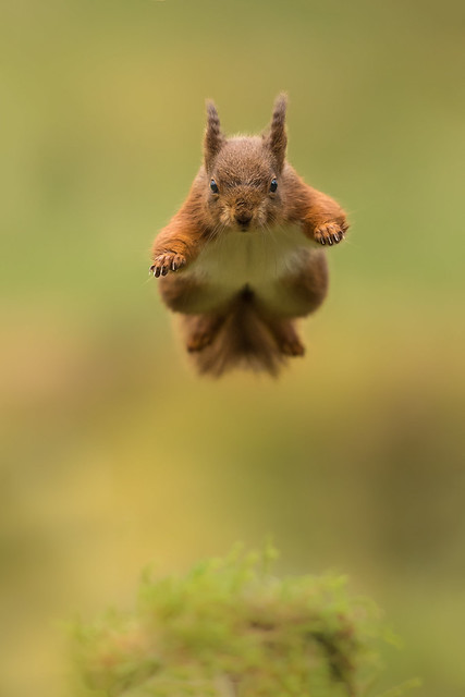 Jumping Red Squirrel, Canon EOS 7D MARK II, Canon EF 500mm f/4L IS II USM