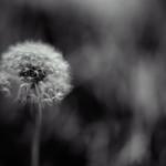 hymn of the divine dandelion