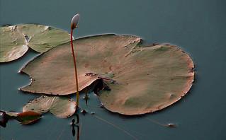 WaterLilly, Vellayani Lake