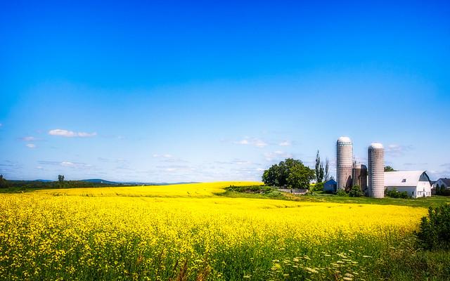 Mustard Field - Field of Dreams