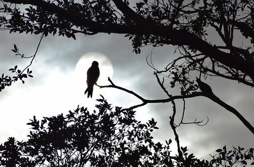 eagle crow sun bleak monochrome halo holy king singing morning sunrise cloudy birds silhouette tree leaves light cloud sky black white blackandwhite nature mothernature 100 natural 52weeks2017 wk30 song blackwhitephotos h