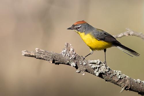 Arañero Corona Rojiza - Myioborus brunniceps - Brown-capped Redstart