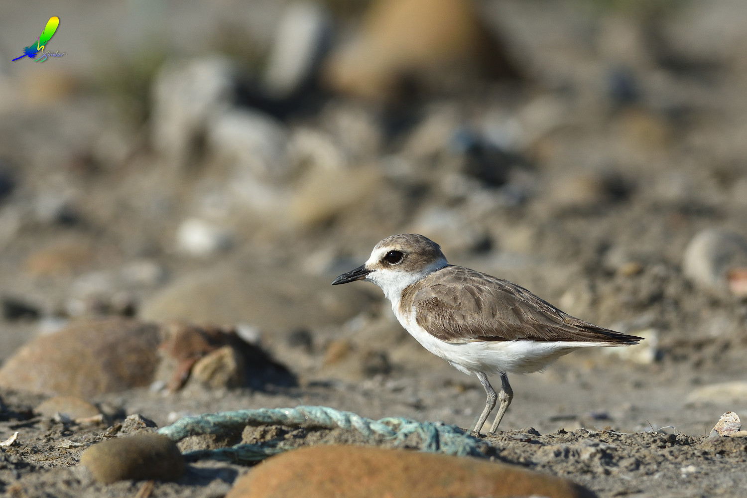 Kentish_Plover_9996