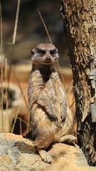 Closer view of on guard meerkat