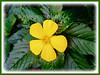Turnera ulmifolia (Yellow Alder, Ramgoat Dashalong, Sage Rose, Cuban Buttercup, West Indian Holly)