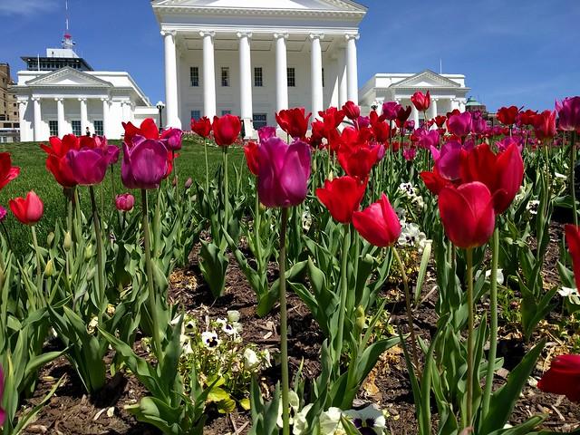 Tulips at Virginia's Capitol