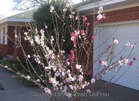 peach_tree_2009