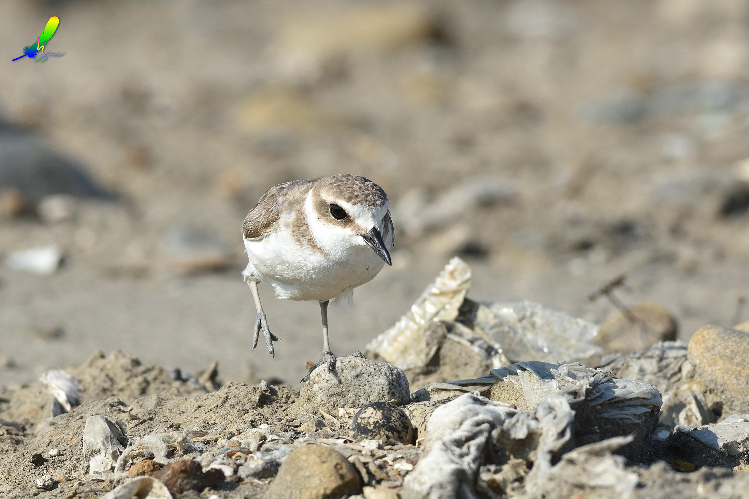 Kentish_Plover_9831