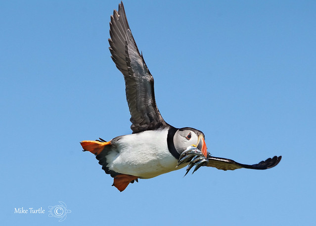 Incoming puffin against the, Sony ILCA-99M2, Sony 70-400mm F4-5.6 G SSM (SAL70400G)