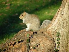 A squirrel in Tompkins Square Park.
