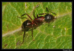 Camponotus ligniperdus - Photo of Antully