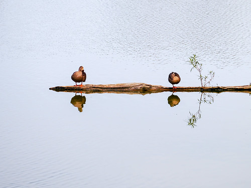 ducks luodong forest park water mirror rest lake couple family line wood float 羅東 宜蘭 鴨 雁 倒影 sunset 浮 木 林場 asia 亞洲