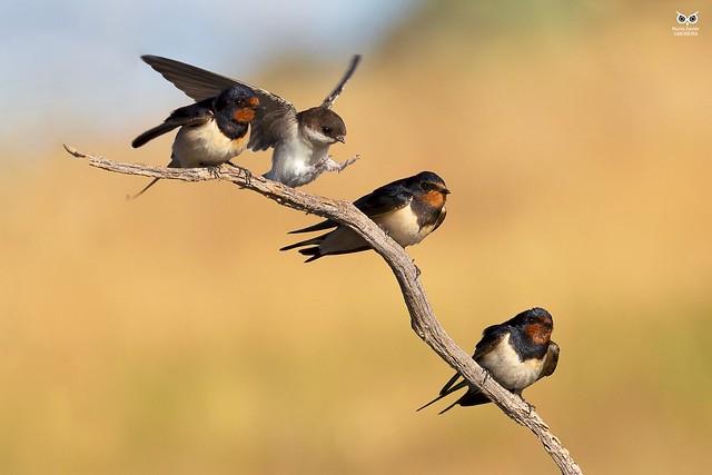 Andorinha-das-chamines, European Swallow (Hirundo rustica) / Andorinha-das-chamines, European Swallow (Hirundo rustica)