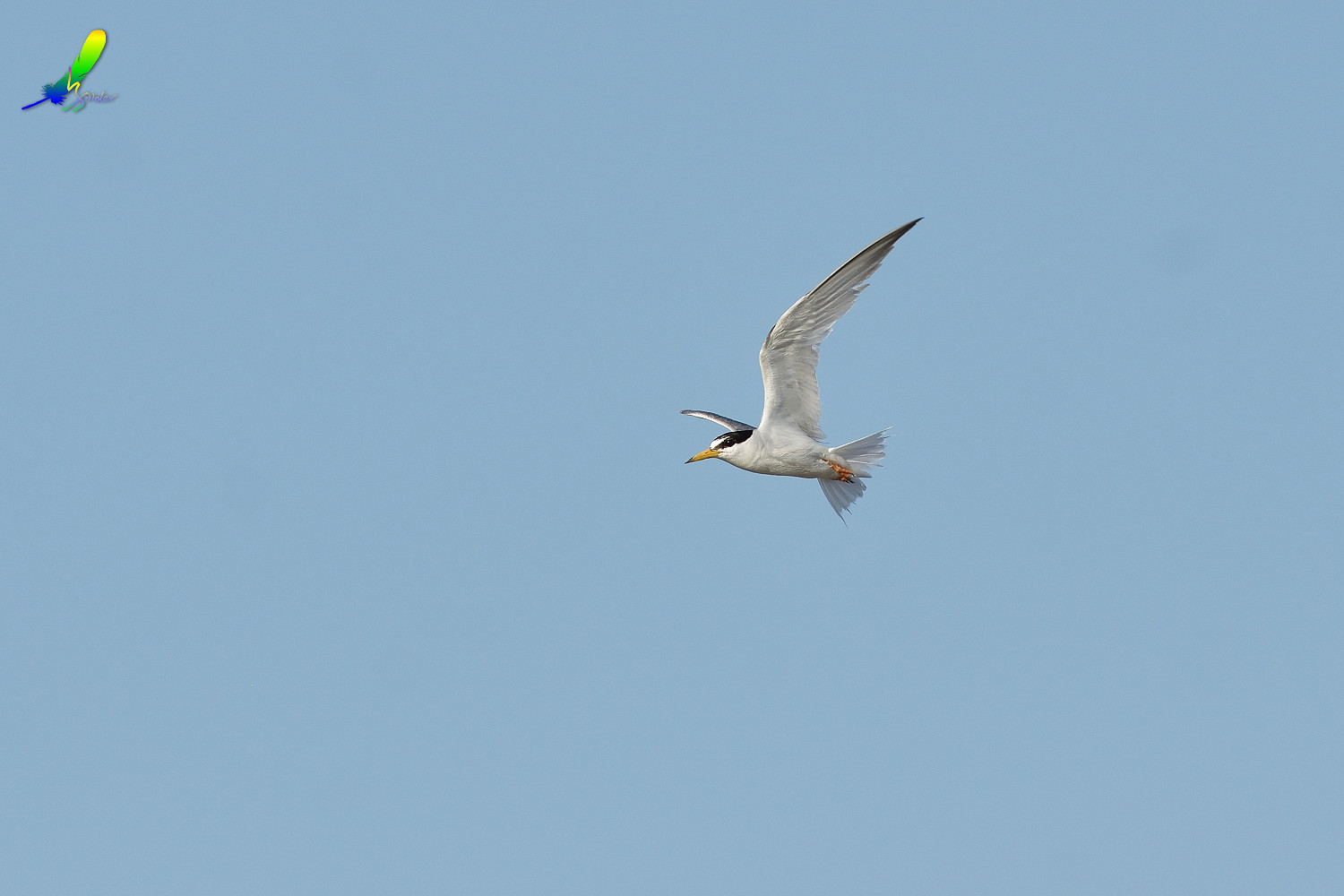 Little_Tern_0152