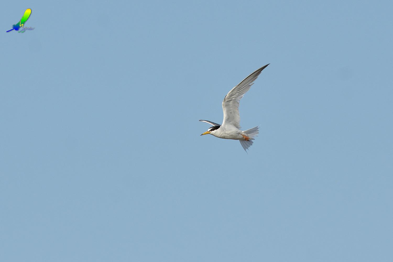 Little_Tern_0152