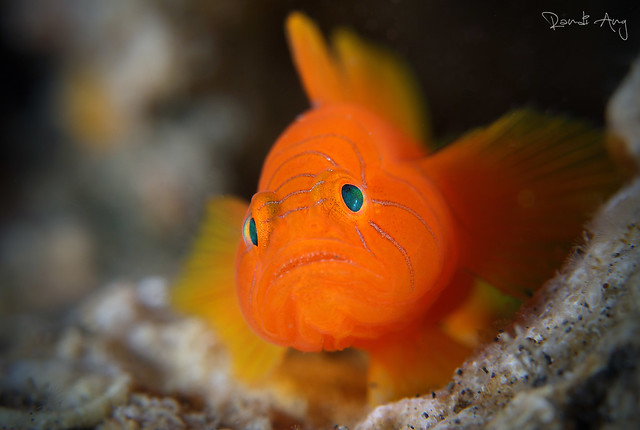 Ribbon Reef Goby (Priolepis vexilla)