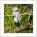 Grey Heron (Ardea cinerea) by prendergasttony