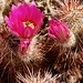 Pinto Mountains, Music Valley, Hedgehog Cactus