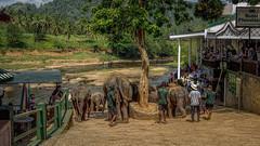 Sri Lanka (Elephants)