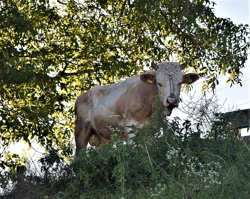 Cows 16 (2)
