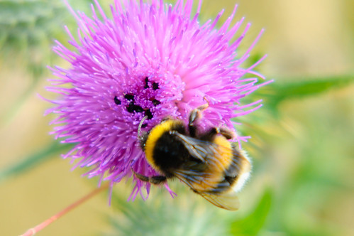 Bumblebee, beetles, thistle flower