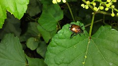 Japanese Beetle (Popillia japonica), Wayside Drive at Gertrude Dr., North Beach Quad, Calvert County, MD, 2017_0720