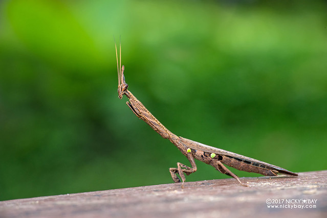 Bark horned mantis (Ceratocrania sp.) - DSC_7019