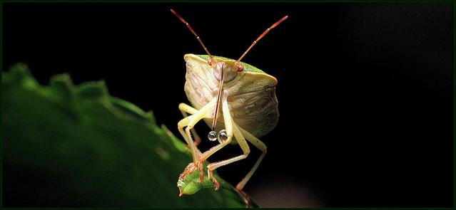 Green stinkbug (Imago) ~ 10 mm, Canon POWERSHOT SX1 IS
