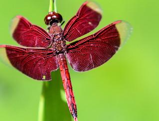 Hot Spring Dragonfly