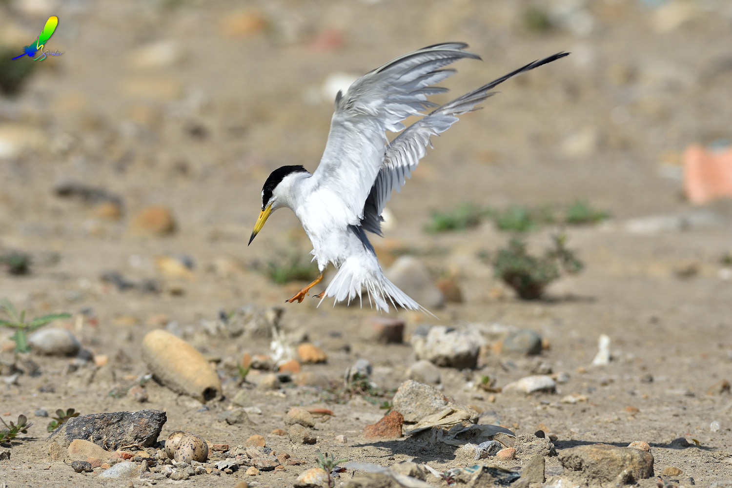 Little_Tern_9454