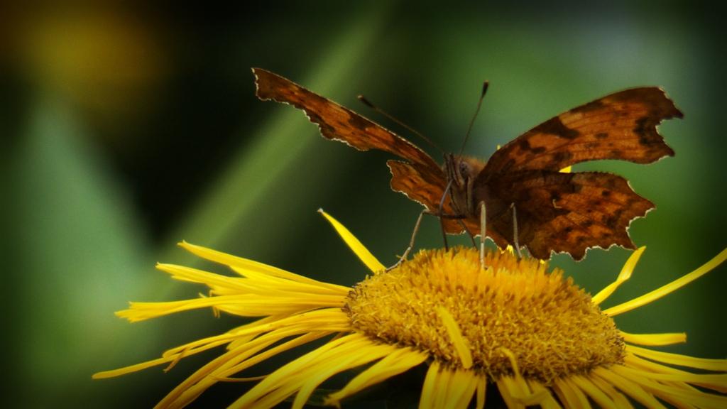 Flora – Schmetterling