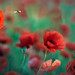 Poppies by Jean-Luc Peluchon